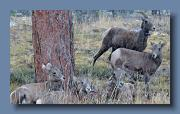 Rocky Mountain Bighorn Sheep, with snow falling